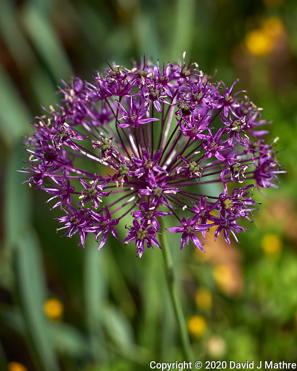 Allium. Image taken with a Leica CL camera and 60 mm f/2.8 lens.