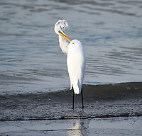 Great Egret (Ardea alba) hunting along lakeshore, Lake Chapala, Ajijic, Jalisco, Mexico. Photo: Peter Llewellyn