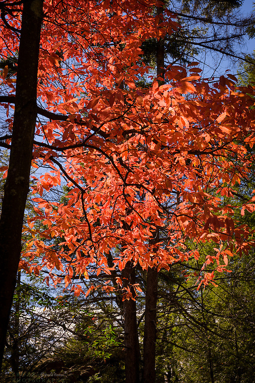 Seasonal Autumn leaves Blackwater State Park, West Virginia.