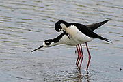 Black-necked Stilt - Himantopus mexicanus mating sequence