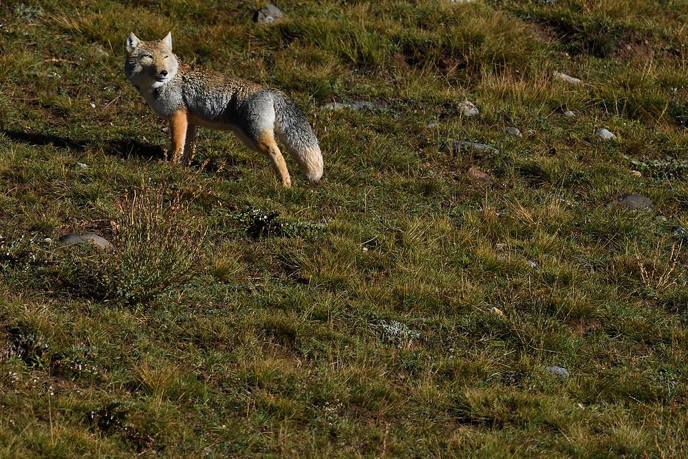 Tibetan sand fox (Vulpes ferrilata), Valley near Yushu, Tibetan Plateau, Qinghai, China