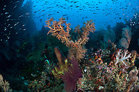 Ambon's south coast has some interesting dive sites, with dramatic caves and stunning topography.  Sea fans and sea whips are plentiful on the current-swept headlands.
