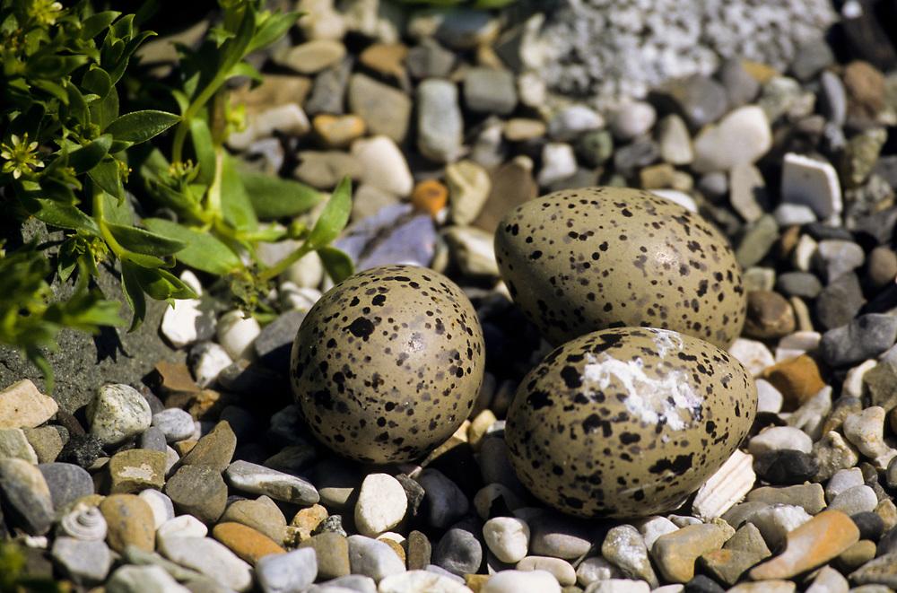 Alaska. Glacier Bay NP. Oystercatcher eggs.