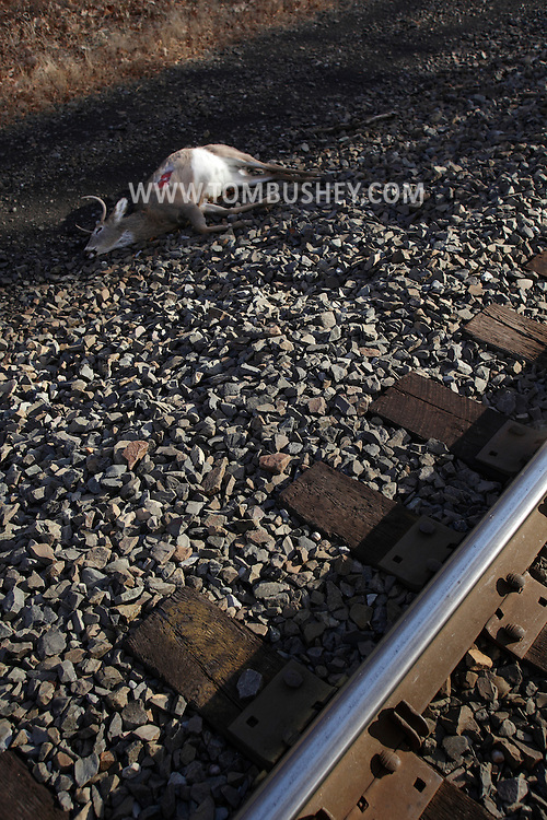 Mountainville, New York - A dead white-tailed deer that was hit by a train lays by the railroad tracks on the side of Schunnemunk Mountain on Nov. 28, 2010.
