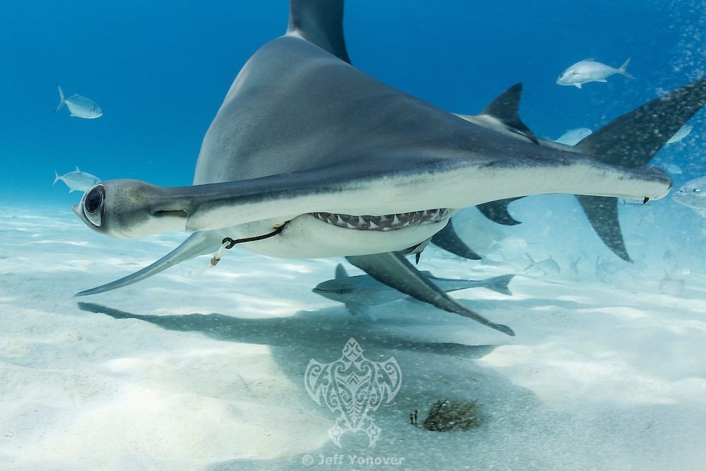 Great Hammerhead with deeply embedded fishing hook<br /> <br /> Shot in Bimini, Bahamas
