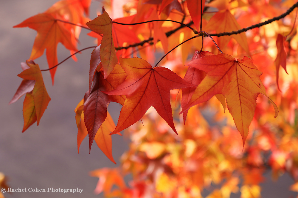 &quot;Maple Leaf Zen&quot; <br />