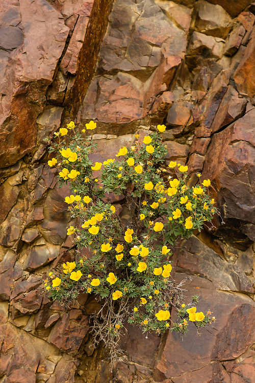 Shrubby Cinquefoil (Potentilla fruticosa) growing from the cliffs at Polychrome Overlook in Denali National Park in Southcentral Alaska. Summer. Evening.