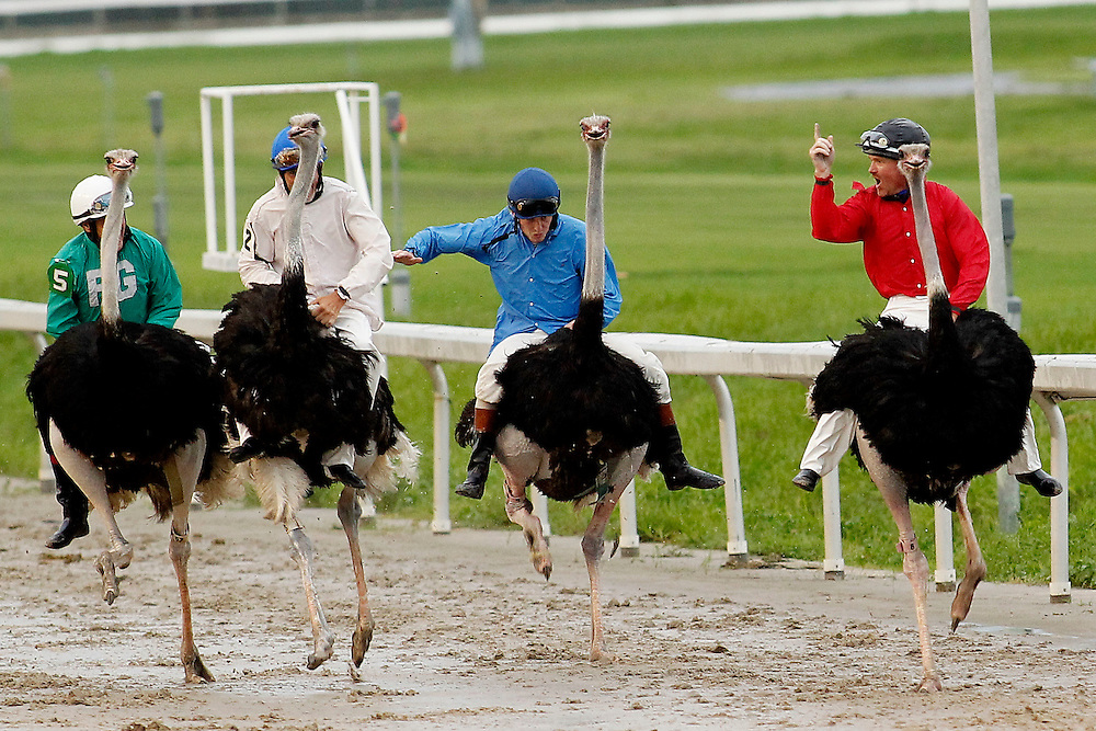 Emu-sing Day at the Races<br /> <br /> &quot;Don't Call Me Emu&quot; with jockey Jeff Jerman (Red) with the Ostrich Race at the New Orleans Fair Grounds Race Course &amp; Slots Track in New Orleans, Louisiana on Saturday, August 18, 2012. Also in the race &quot;Feather Duster&quot; with Dale Beaty (White), &quot;I'll Hatch Another&quot; with Josh Dearmon (Blue), &quot;Nom De Plumage&quot; with Jose Vega (Yellow), and &quot;She's Got Legs&quot; with Eddie Cox (Green). The jockeys who had ridden horses throughout the day opted for an amusing end of the day show and proved they could ride anything by mounting Ostriches. Despite the rainy weather thousands turned out for the event.