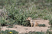A black tailed prairie dog pup stands at the entrance to the colony burrow in the Rocky Mountain Arsenal National Wildlife Refuge in Commerce City, Colorado.