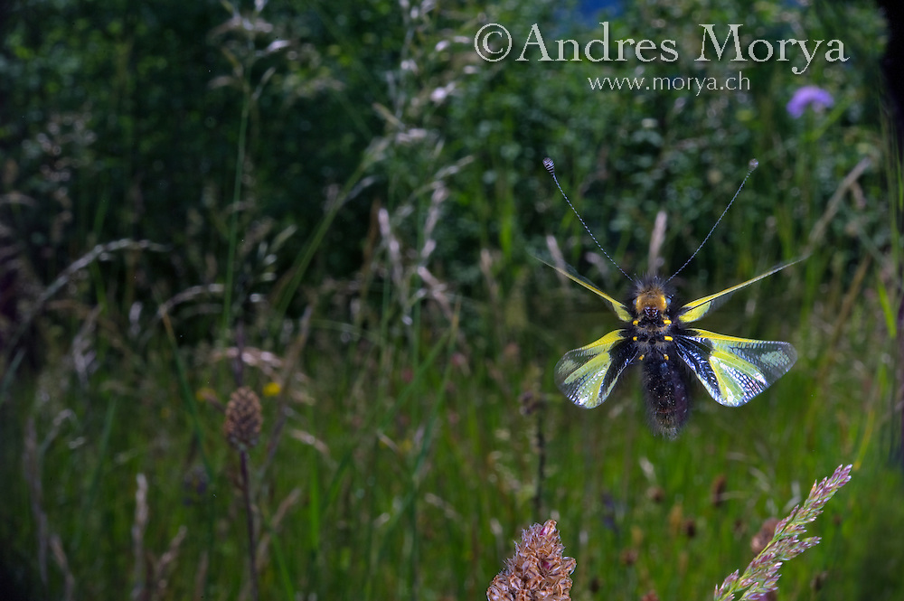 Ascalaphidae in flight, Owlfly in flight, Libellen-Schmetterlingshaft im flug, Libelloides coccajus, Europe Image by Andres Morya