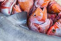 Red Roman and Grey Shark catch, Struisbaai Harbour, Struisbaai, Western Cape, South Africa