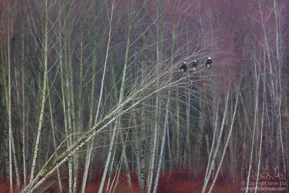 Five bald eagles (Haliaeetus leucocephalus) — three adults and two juveniles — share a tree that's leaning along the Nooksack River near Deming, Washington.