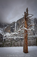 A snag in Cooks Meadow watches over Yosemite Fall.