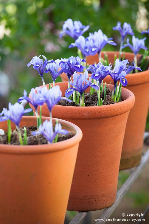 Iris 'Harmony' (Reticulata) in terracotta pot