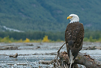 Bald eagle perched on the Tsirku River in the Chilkat Bald Eagle Preserve near Haines Alaska.