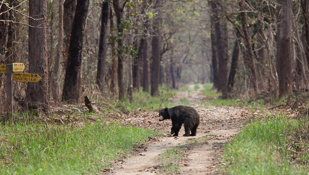 Sloth Bear, Ursus ursinus, in sal forest, Chitwan National Park, Nepal