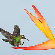 "Tourmaline Sunangel coming in for a ""hot"" landing on a Bird of Paradise"