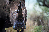 A white rhino bull clearly shows his magnificent horn. It is these horns that have become the target for syndicated criminals over the last decade with over 8000 rhino having been slaughtered for the horns. Gram for gram, these horns are more valuable than gold on the black market