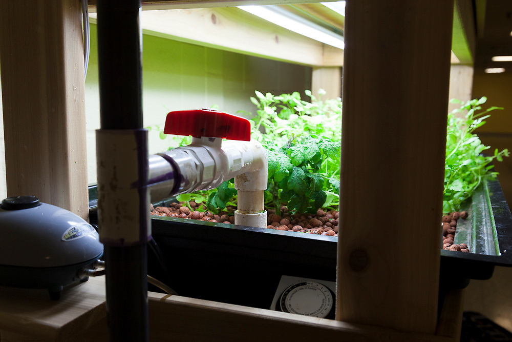 Salad greens and vegetables in the top tiers of an indoor aquaponic system.
