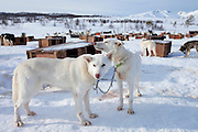 Alaskan Huskies at kennels at Villmarkssenter wilderness adventure centre on Kvaloya Island, Tromso in Arctic Circle Northern Norway