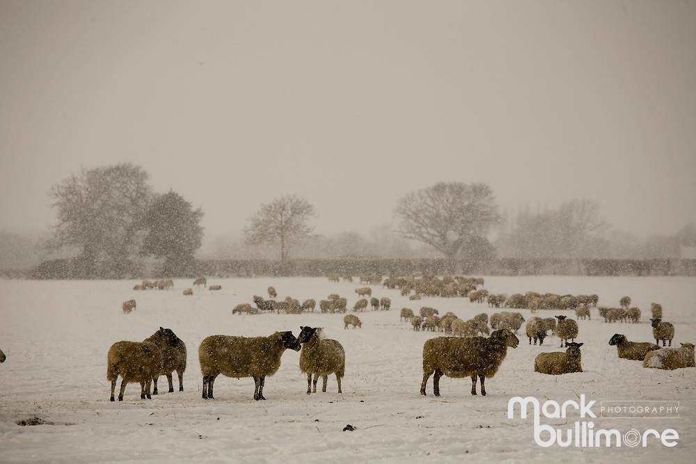 Photo: © Mark Bullimore..Winter Weather in the UK, Norfolk. Sheep feeding in a field despite the snow covered ground..07/01/2010