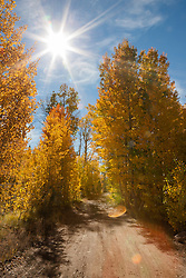 """Aspens Along a Dirt Road"" - These aspen trees were photographed along a dirt road in the fall at Klondike Meadow near Truckee, California."