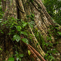 The buttress roots and giant trunk of an old ficus tree in the tropical rainforest at Amazon Natural Park off of the Marañon River. Pacaya Samiria National Reserve, Upper Amazon, Peru.