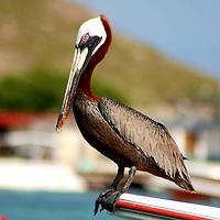 Parque Nacional Archipielago Los Roques, es un hermoso archipiélago de pequeñas islas coralinas que se encuentra ubicado en el Mar Caribe y ocupa 221.120 hectáreas. Pelicano en el archipielago.