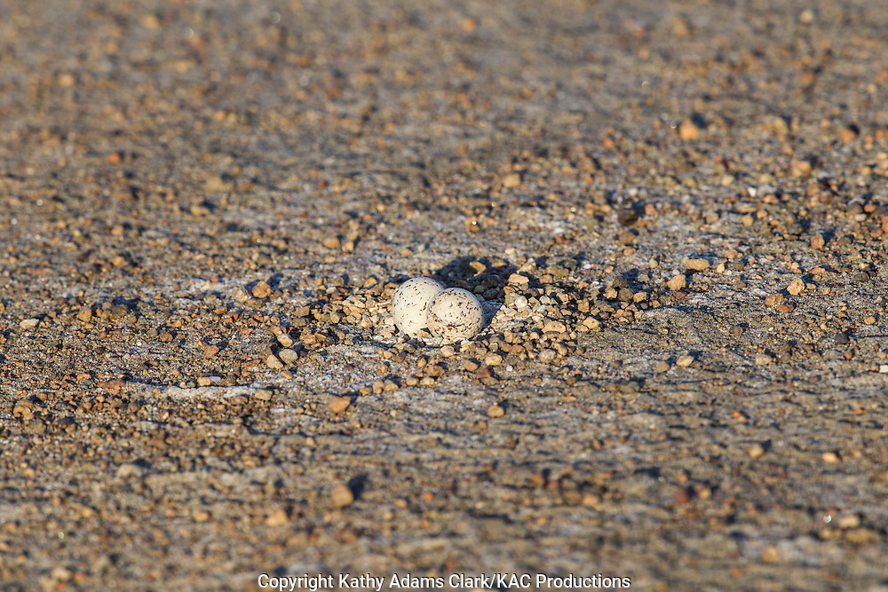 Two-banded courser, eggs, Rhinoptilus africanus, near Ndutu, in the Ngorongoro Conservation Area, Tanzania, Africa.