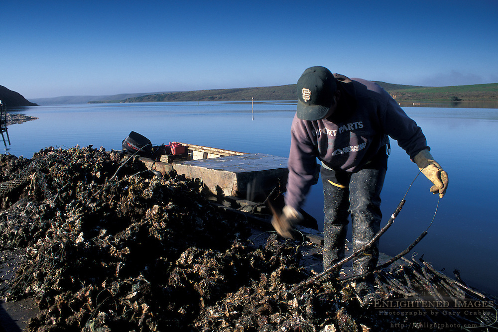 Oyster farming at Schooner Bay, Drakes Estero, Point Reyes National Seashore, Marin County, California