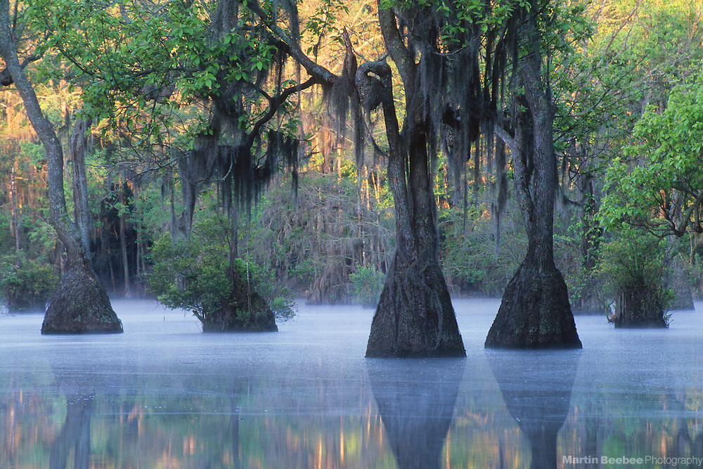 Mist, early morning light, and tupelo gum trees (Nyssa aquatica), spring, Merchant's Millpond State Park, North Carolina