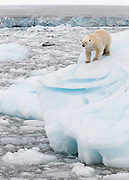 We were in a small icebreaker ship traveling off the Austfonna glacier in Nordaustlandet, Svalbard when our guide Rinie van Muers spotted a tiny bit of yellow in the midst of all the icebergs.  None of the passengers could spot the bear until we were quite a ways into the ice.  The bear was interested in us and provided quite a show.  At one point he seemed to be calculating how he could get on board to join us.  This was taken at 127mm (98mm with a 1.3 sensor) so we were quite close. <br /> IUCN Red List: Vunerable<br /> Processing:  Crop, Contrast, Tone, Sharpening