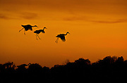 Greater Sand Hill Cranes, make a landing at sunset in the Cosumnes River Preserve, right next to Franklin Blvd. November 2, 2011.