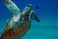Green Sea Turtle, Chelonia mydas, Linnaeus 1758, Maui Hawaii