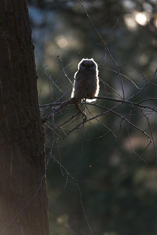 Backlit Great Horned Owlet, Missoula County, Montana