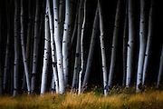 An aspen forest nea Black Lake, New Mexico.