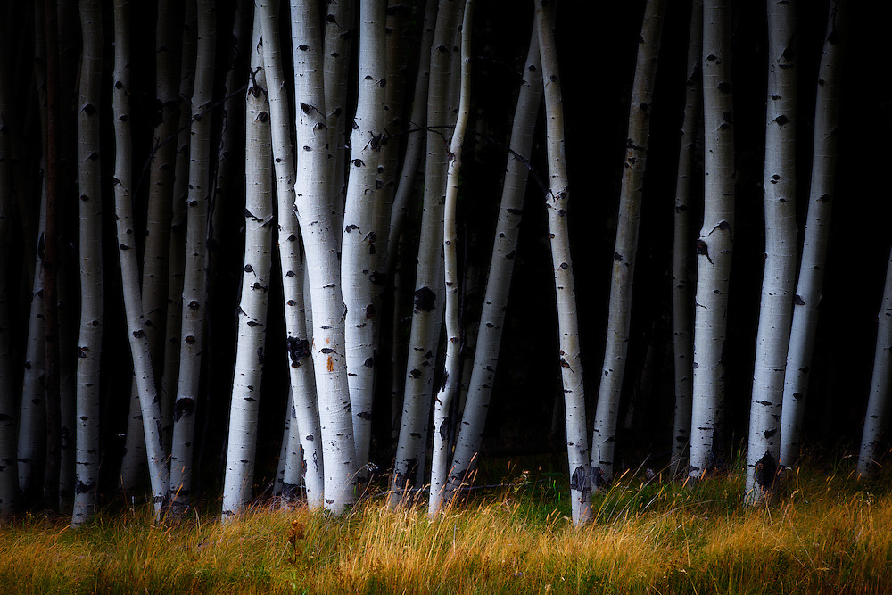 An aspen forest nea Black Lake, New Mexico.