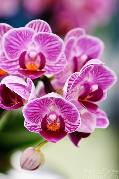 Phalaenopsis Orchid 'Vivian' Keukenhof Spring Tulip Gardens, Lisse, The Netherlands.