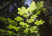 Backlit leaves near the forest floor along the Marymere Falls trail in Olympic National Park. (Steve Ringman / The Seattle Times)