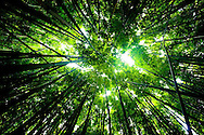 The Bamboo Forest in the Oheo Gulch (Seven Sacred Pools) near Hana, Maui, HI, USA