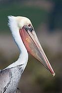 Brown Pelican head portrait, winter plumage
