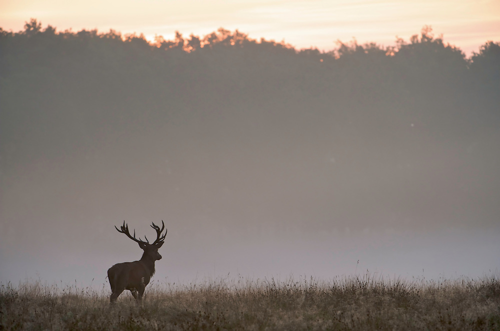 Red Deer (Cervus elaphus), Klampenborg Dyrehave, Denmark, Fenced reserve enclosure.
