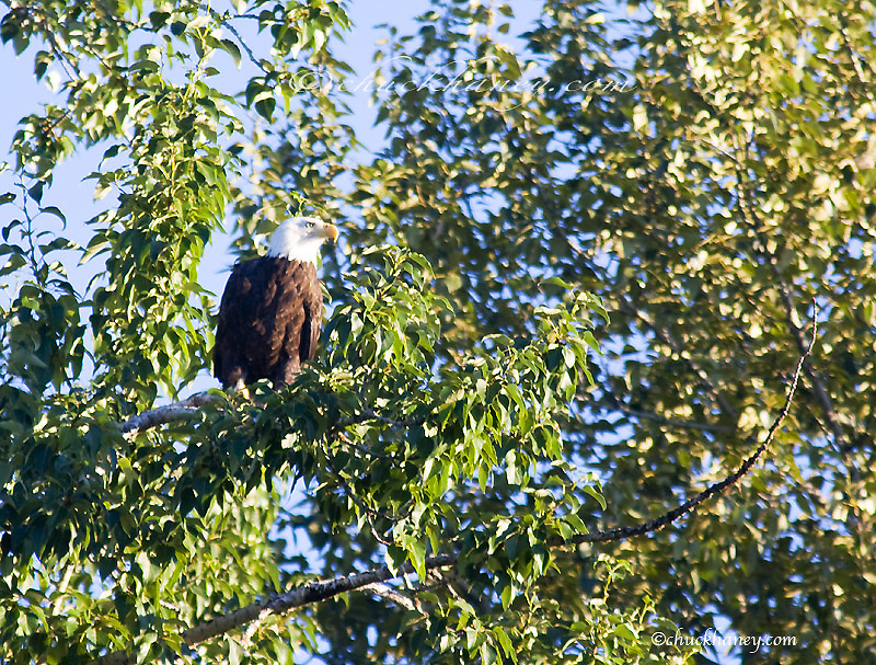 Mature Bald Eagle in tree over Whitefish Lake in Montana