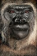 Gorilla, Western Lowland gorilla (Gorilla gorilla gorilla).Portrait of an adult gorilla woman...Gorilla, Westlicher Flachlandgorilla (Gorilla gorilla gorilla).Portrait einer adulten Gorilla-Frau. .