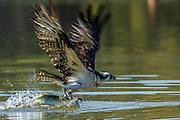 Osprey (pandion haliaetus)) - prey too large to land at Lake Murray, San Diego, CA