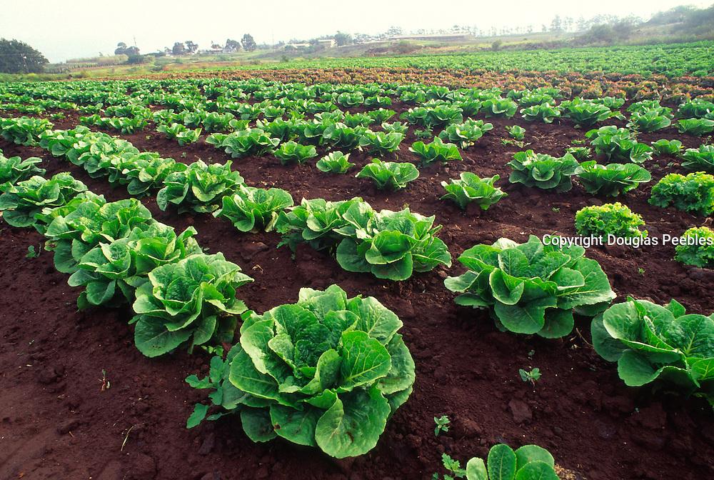Lettuce, Waimea, Island of Hawaii<br />