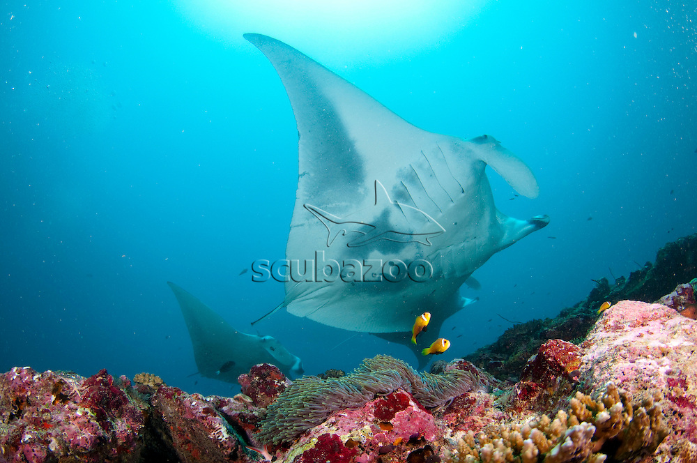 Manta Ray, Manta alfredi, Gliding over reef, Lankan, Maldives