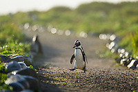 African Penguin walking across a pathway and carrying a stone, Bird Island, Algoa Bay, Eastern Cape, South Africa