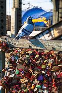 Europa, Deutschland, Koeln, Vorhaengeschloesser als Liebesschloesser (ital. Lucchetti d'Amore) am Zaun entlang des Fussweges der Hohenzollernbruecke ueber den Rhein. Die Schloesser mit Gravuren werden nach einem Brauch von Verliebten an Bruecken angebracht. Der Schluessel wird anschliessend in den Rhein geworfen, Taube.<br /> <br /> Europe, Germany, Cologne, padlocks on fence of footpath of the Hohenzollern railway bridge. Young couples seal their love with engraved padlocks and throw the key into the flowing river Rhine below, pigeon.
