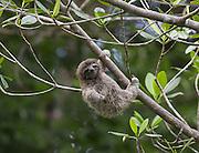 Pygmy three-toed sloth<br /> Bradypus pygmaeus<br /> Four-month-old baby<br /> Isla Escudo de Veraguas, Panama